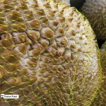 Cooking with Durian fruit