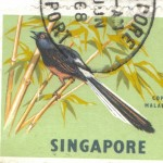 Singapore - White-Rumped Shama or Copsychus Malabaricus