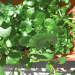 Using watercress in the Asian kitchen